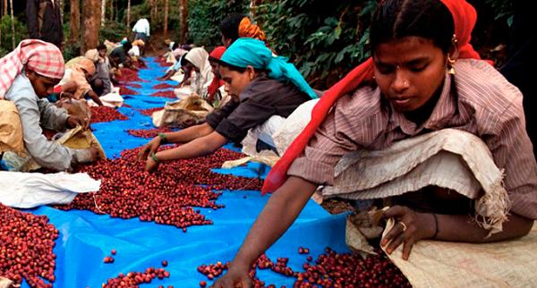 Индийский кофе - кофе с мягким вкусом, выращенный в тени