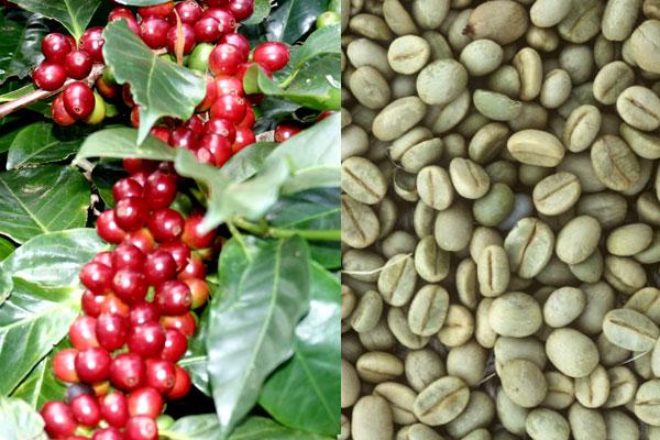 Арабика: особенности этого вида кофе