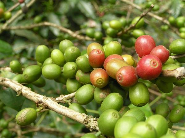 Зеленый кофе как выбрать, как готовить, как молоть, где купить, отзывы и мнения